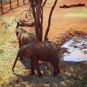 Baby elephants at Lilayi Elephant Nursery in Lusaka, Zambia