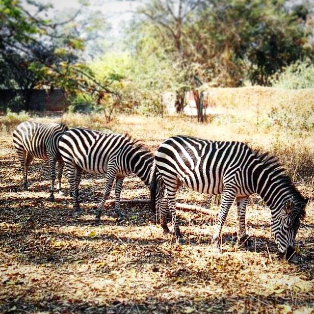 Zebras Munda Wanga Environmental Park, one of the things to do in Lusaka