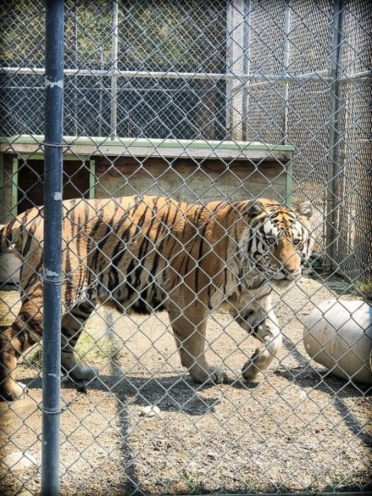 A tiger at Cat Tales Zoological Park, one of the family friendly Spokane activities