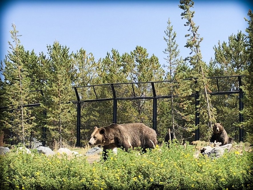 Grizzly bears at the Grizzly and Wolf Discovery Center near Yellowstone National Park