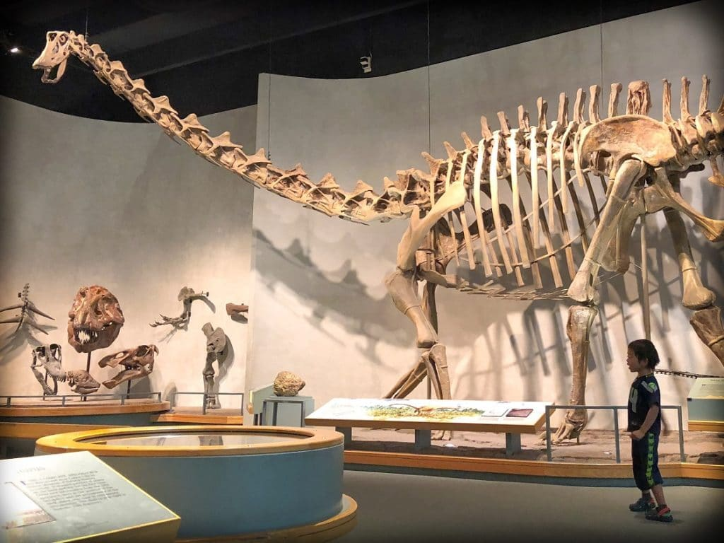 A child looks at a replica of a brachiosaurus dinosaur exhibit at the Denver Museum of Nature and Science, one of the family friendly Denver experiences that families can try.