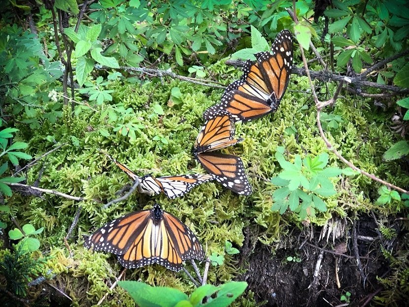 Monarch butterfly sanctuary, off the beaten path in Mexico