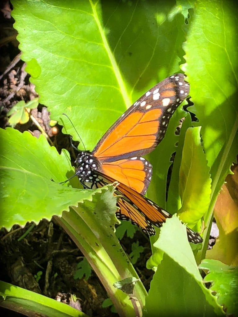 A monarch butterfly at the monarch butterfly sanctuary in Michoacan, Mexico