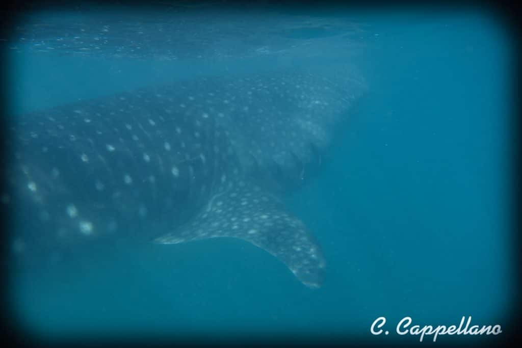 whale sharks in Mexico