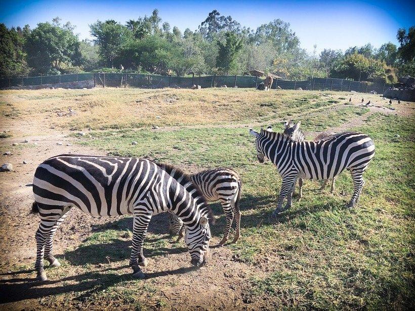 Zebras at the Guadalajara Zoo