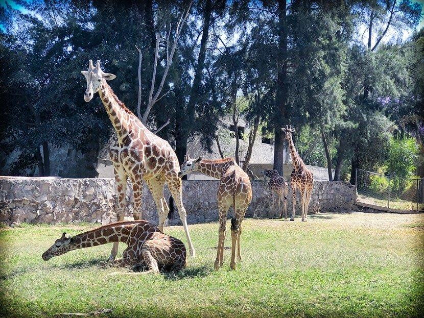 Giraffes at the Guadalajara Zoo