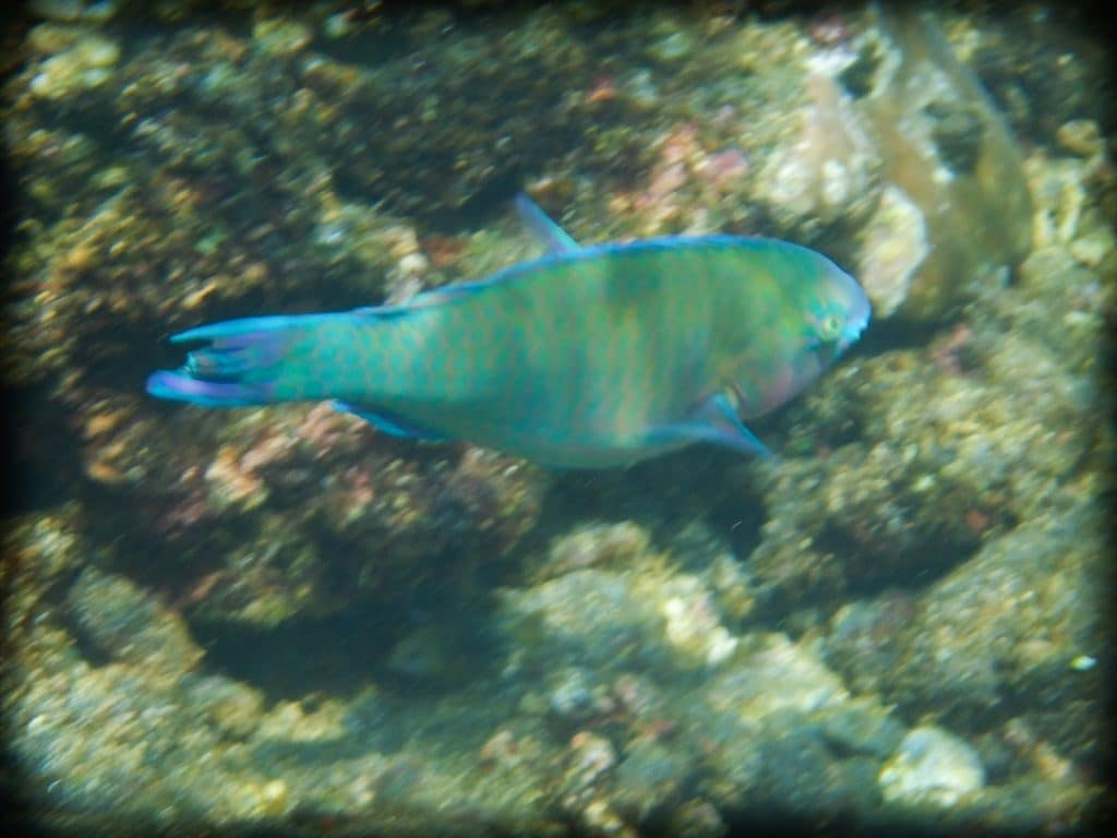 A blue, green, yellow and pink fish swimming near coral at Amed Bali
