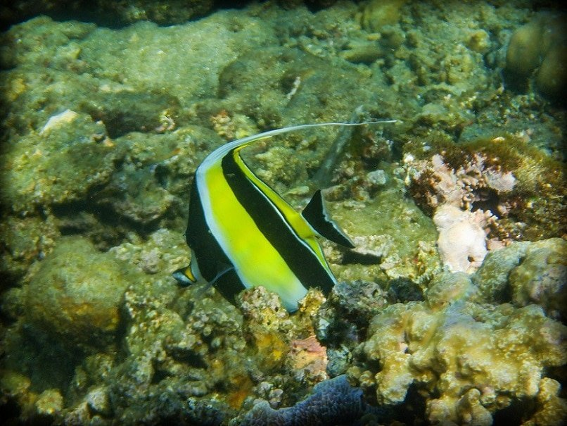 A black, white, and yellow striped tropical fish swims among coral in Amed Bali