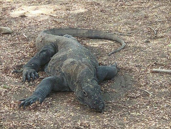 A Komodo dragon resting during a Komodo tour