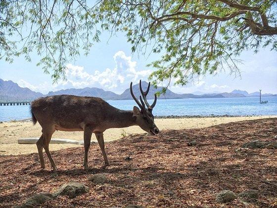 Deer grazing on Komodo island during a Komodo tour