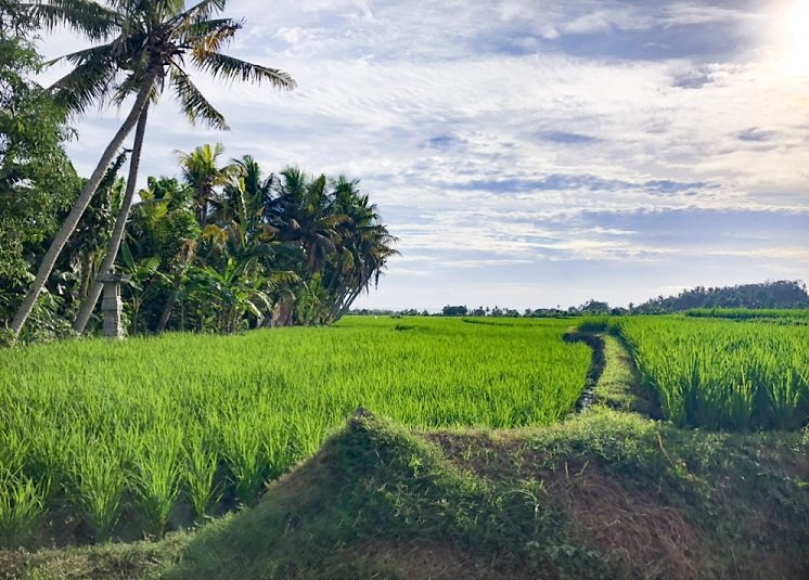 Rice field in Bali, Indonesia, where travelers can visit when they have a scooter rental in Bali.