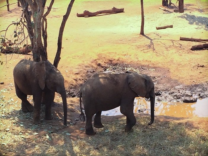 Elephants at Lilayi Elephant Nursery, one of the things to do in Lusaka, Zambia